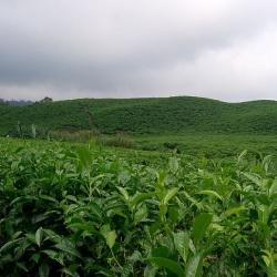Un champ de thé