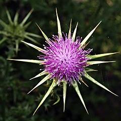 Fleur de chardon Marie